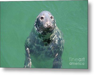Inquisitive Seal Metal Print by Jim Gillen