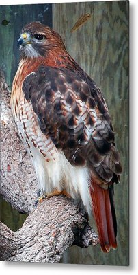 Inquisitve Red Tailed Male Hawk Metal Print by Donna Proctor