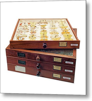 Insect Collection Of Sir Joseph Banks Metal Print