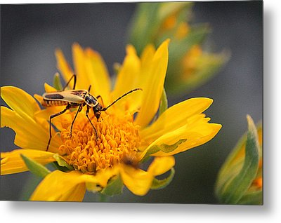 Insect On Cowpen Daisy Metal Print