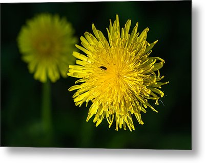 Insects On A Dandelion Flower - Featured 3 Metal Print by Alexander Senin