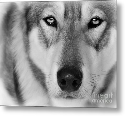 Intence Sled Dog Black And White Metal Print