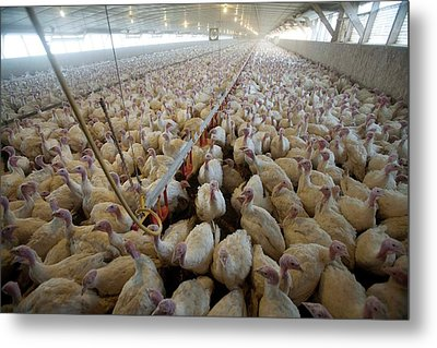 Intensive Turkey Farm Metal Print by Peter Menzel