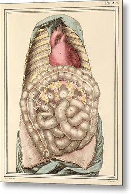 Internal Body Organs, 1825 Artwork Metal Print by Science Photo Library