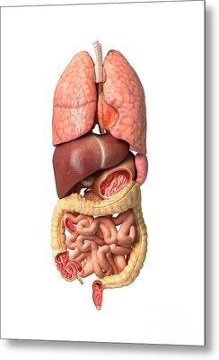 Internal Organs Of The Respiratory Metal Print by Leonello Calvetti