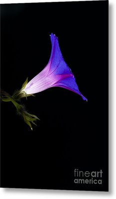 Ipomoea Morning Glory Metal Print by Tim Gainey