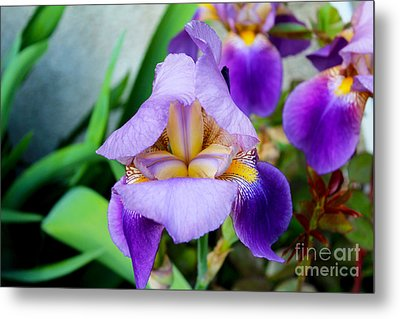 Iris From The Garden Metal Print