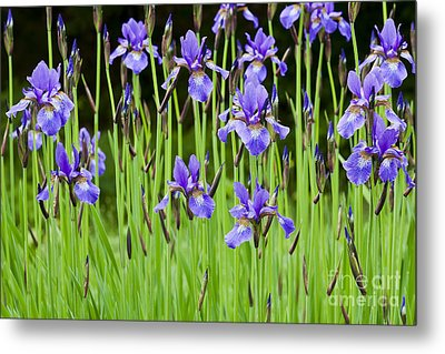 Iris Garden Metal Print by Alan L Graham