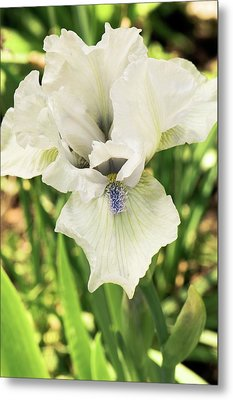 Iris Germanica 'love's Tune' Flower Metal Print
