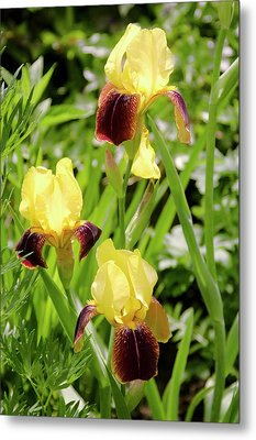 Iris Germanica 'rajah' Flowers Metal Print