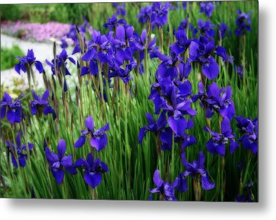 Metal Print featuring the photograph Iris In The Field by Kay Novy