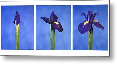 Metal Print featuring the photograph Iris by Lana Enderle