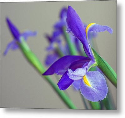 Metal Print featuring the photograph Iris by Lisa Phillips