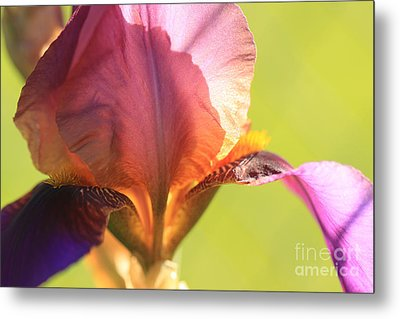 Iris Study 6 Metal Print by Jeanette French