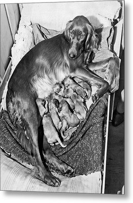 Irish Setter With 12 Puppies Metal Print by Underwood Archives