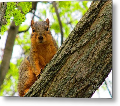 Is It Alright To Have Some Acorns ? Metal Print by Tina M Wenger