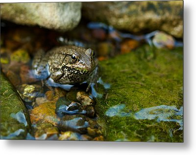 Metal Print featuring the photograph Is There A Prince In There? - Frog On Rocks by Jane Eleanor Nicholas