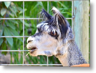 Metal Print featuring the photograph Is Your Mama A Llama by Debby Pueschel