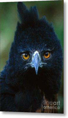 Isidoris Eagle Metal Print by Art Wolfe