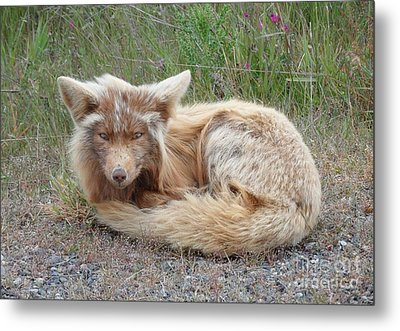 Island Fox Metal Print by Gayle Swigart