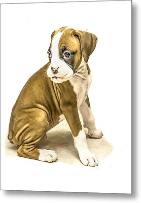 Isolated Boxer Puppy Metal Print by Tony Moran