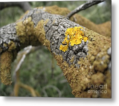 Isolated Lichen Metal Print