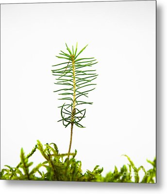 Isolated Spruce Seedling Metal Print by Kennerth and Birgitta Kullman