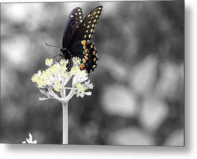 Isolated Swallowtail Butterfly Metal Print by Lorri Crossno