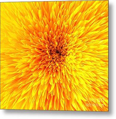 Italian Sunflower Detail Metal Print by C Lythgo