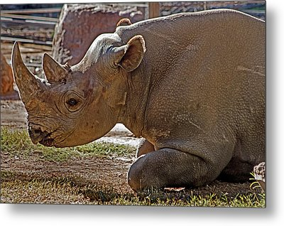 Its My Horn Not Your Medicine Metal Print by Miroslava Jurcik