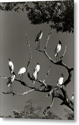 Jabiru Birds Metal Print