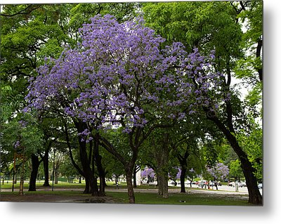 Jacaranda In The Park Metal Print by John Daly