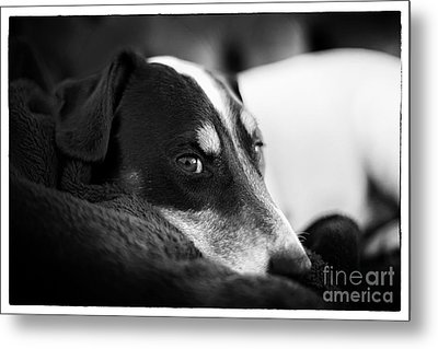 Jack Russell Terrier Portrait In Black And White Metal Print by Natalie Kinnear