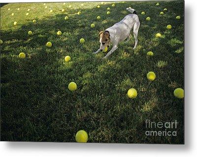 Jack Russell Terrier Tennis Balls Metal Print