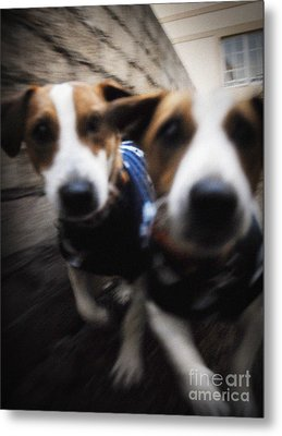 Metal Print featuring the photograph Jack Russells by Michael Edwards
