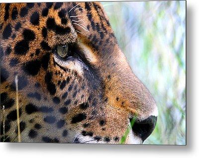 Jaguar Eyes Metal Print by Nathan Miller
