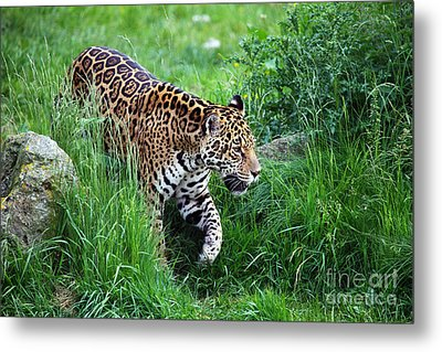 Jaguar On The Prowl Metal Print