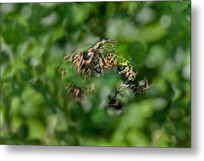 Jaguar Panthera Onca Behind Leaves Metal Print by Panoramic Images