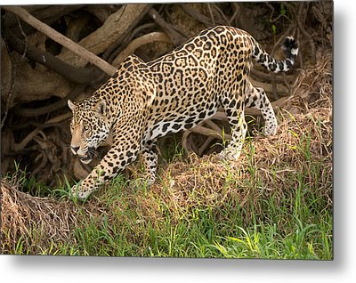 Jaguar Panthera Onca Foraging Metal Print