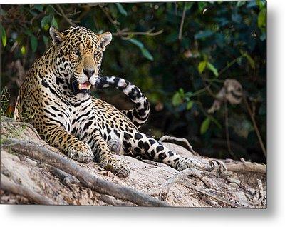 Jaguar Panthera Onca Snarling, Three Metal Print by Panoramic Images