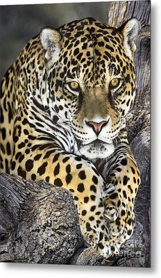 Jaguar Portrait Wildlife Rescue Metal Print