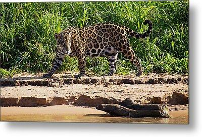 Jaguar River Walk Metal Print by David Beebe