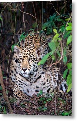 Jaguars Panthera Onca, Pantanal Metal Print by Panoramic Images