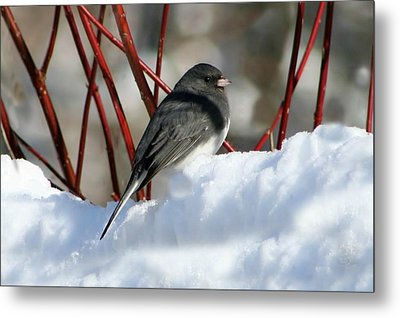January Snow In New England Metal Print by Barbara S Nickerson