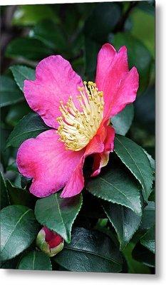 Japanese Camellia (camelia Japonica) Metal Print by Dr. Nick Kurzenko