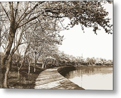 Japanese Cherry Blossoms, Cherry Trees, Waterfronts Metal Print
