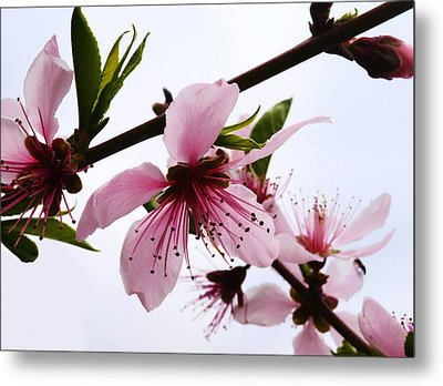 Japanese Cherry Tree Metal Print by Camille Lopez
