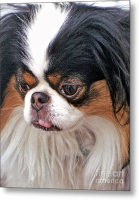 Japanese Chin Dog Portrait Metal Print by Jim Fitzpatrick