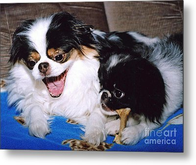 Japanese Chin Dogs Hanging Out And Telling Stories Metal Print by Jim Fitzpatrick