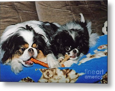 Japanese Chin Dogs Hanging Out Metal Print by Jim Fitzpatrick